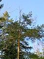 Pinus sylvestris cronartium flaccidium beentree.jpg