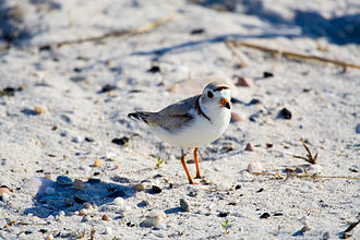 Quicksand Pond - Piping plover