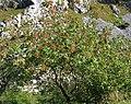 Pistacia terebinthus. Carnapiu blanqueru (groma).jpg