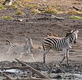 Plains Zebras (Equus quagga burchellii) foal and young ... (32300387274).jpg