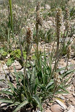 Plantago ovata form.jpg