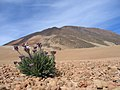 Plants between rocks on Teide - 003.JPG