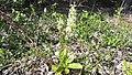 Platanthera bifolia03.jpg