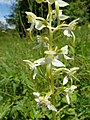 Platanthera chlorantha 02.jpg