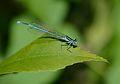Platycnemis pennipes3.jpg