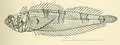 Platygillellus rubellulus Kendall & Radcliffe, 1912.png