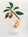 Plum (Prunus species); fruiting branch with partly peeled fr Wellcome V0043133.jpg