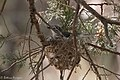 Plumbeous Vireo (on nest) Huachuca Canyon Sierra Vista AZ-2 (35036848624).jpg