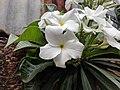 Plumeria pudica 11.jpg