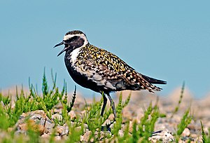 Pacific golden plover - In breeding plumage at Bering Land Bridge National Preserve, Alaska