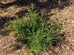 Podocarpus nivalis, Timaru Botanic Garden, New Zealand.jpg