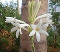 Polianthes tuberosa flower.jpg