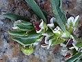 Polygonum oxyspermum subsp. raii inflorescence (08).jpg