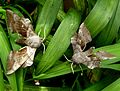 Poplar Hawkmoths. Laothoe populi. - Flickr - gailhampshire.jpg