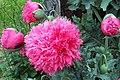 Poppies - geograph.org.uk - 478283.jpg