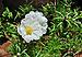 Portulaca grandiflora, Burdwan, 30032014 (3).jpg