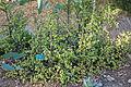 Portulacaria afra - San Luis Obispo Botanical Garden - DSC05913.JPG