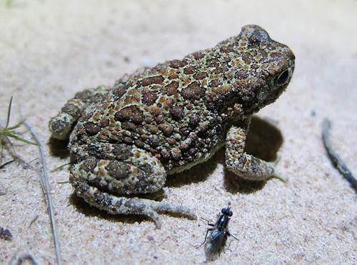 500px poyntonophrynus fenoulheti