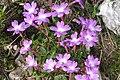 Primula wulfeniana (Wulfen-Primel) IMG 0748.jpg