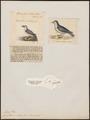 Prion vittata - 1700-1880 - Print - Iconographia Zoologica - Special Collections University of Amsterdam - UBA01 IZ17900126.tif
