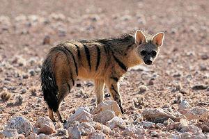 Aardwolf - An aardwolf in Namib-Nord, Namibia