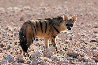 Aardwolf Species of mammal