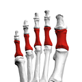 Proximal phalanges of left foot09 superior view.png