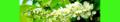 Prunus padus. Reader.png