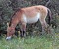 Przewalski's wild horse (2917708174).jpg