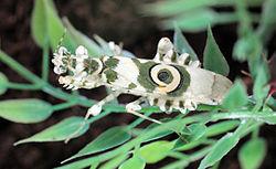 Pseudocreobotra wahlbergii 01.jpg