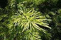 Pseudolarix amabilis kz06.jpg