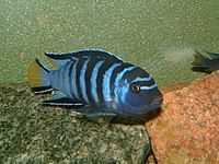 Pseudotropheus elongatus1