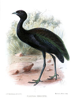 Dark-winged trumpeter species of bird