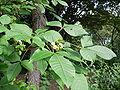 Ptelea trifoliata 20050808 001.jpg
