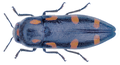 Ptosima flavoguttata (Illiger, 1803).png