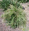 Puya mirabilis kz1.JPG
