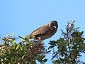 Pycnonotus tricolor (30845927108).jpg