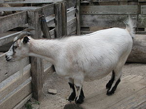 Pygmy goat - Caramel with black markings