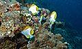 Pyramid Butterflyfishes (Hemitaurichthys polylepis) (6130320478).jpg