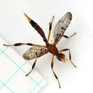 Pyrgotidae - Pyrgotella chagnoni