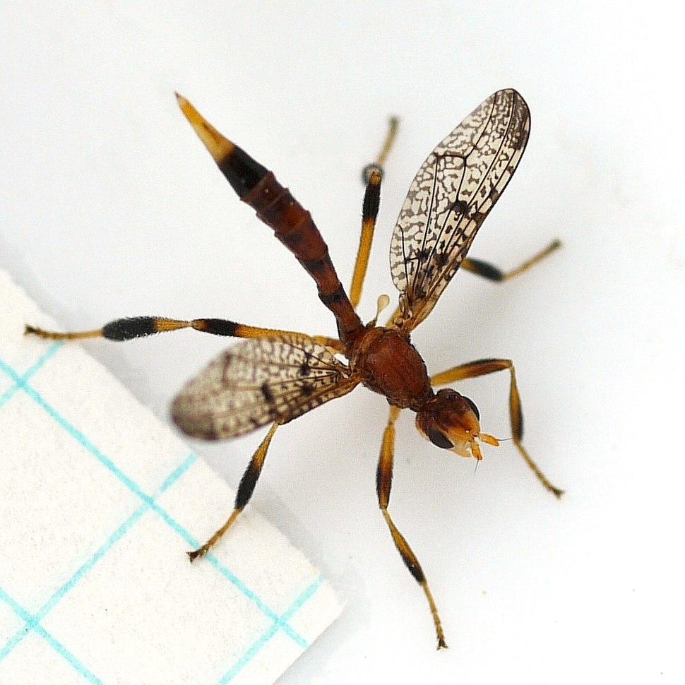 Pyrgotella chagnoni