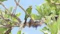 Pyrrhura hoffmanni -Costa Rica-8.jpg