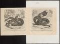 Python sebae - 1700-1880 - Print - Iconographia Zoologica - Special Collections University of Amsterdam - UBA01 IZ11800234.tif