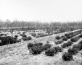 Queensland State Archives 2657 Peanuts and young peach trees Pikedale January 1920.png