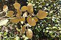 Quercus alnifolia 16.jpg