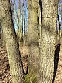 Quercus cerris sl1.jpg