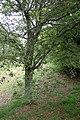 Quercus crassifolia kz05.jpg