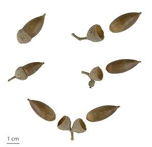 Quercus ilex - Image: Quercus ilex MHNT.2006.0.1268