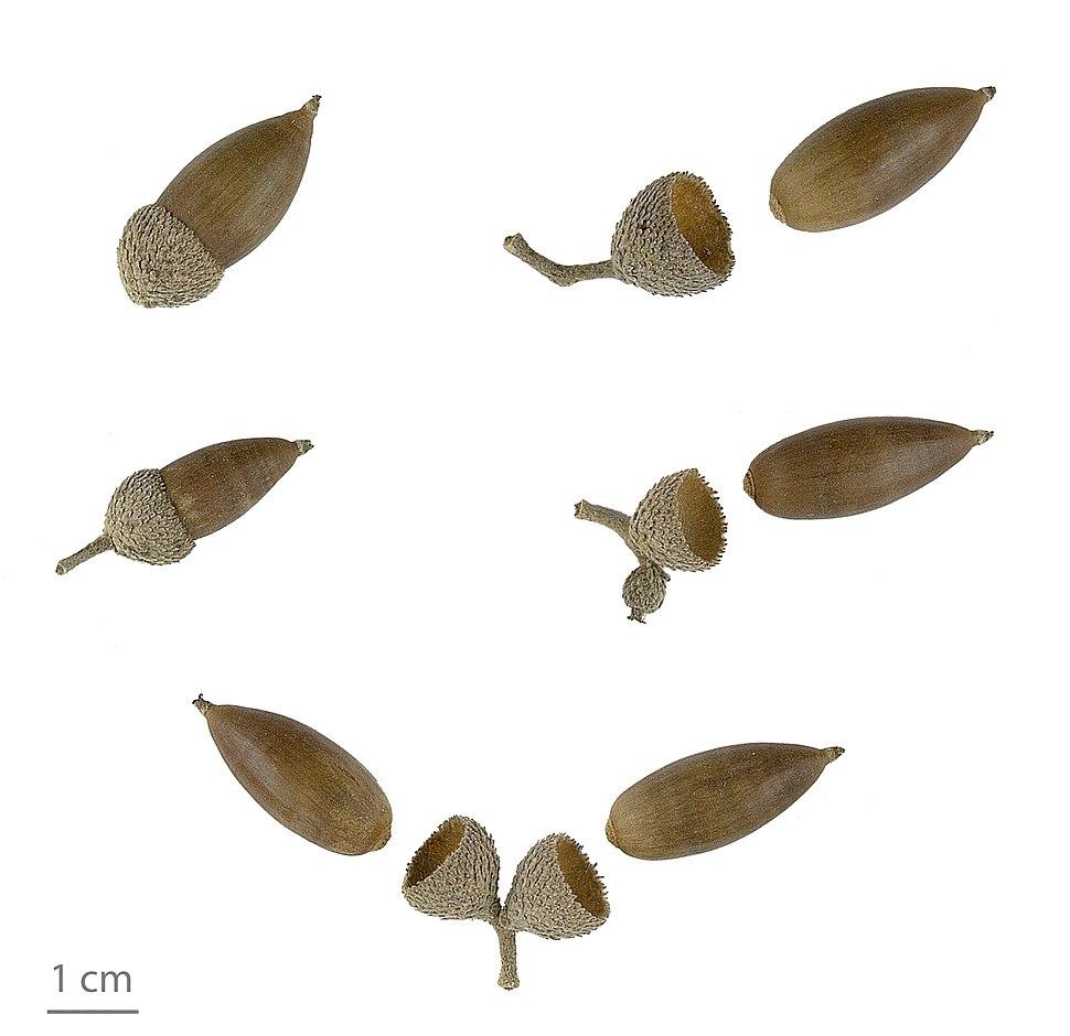Quercus ilex MHNT.2006.0.1268