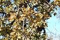 Quercus lobata-8.jpg
